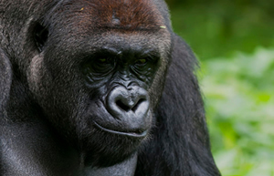 Mountain Gorilla Trekking Safaris Vacation Holidays by Globetrotters Travel and Tours Uganda